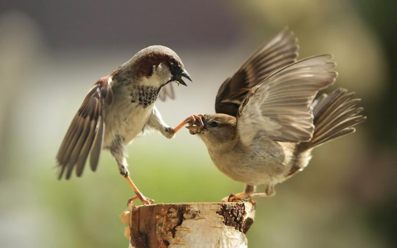 Sparrows-fight